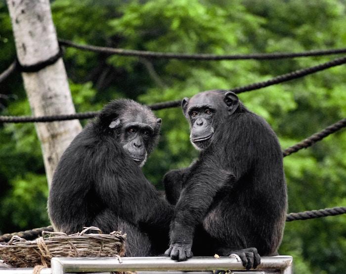 チンパンジーの睡眠
