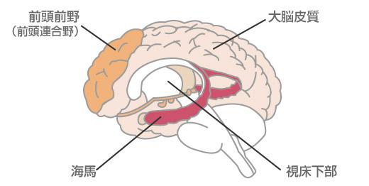 海馬(脳)